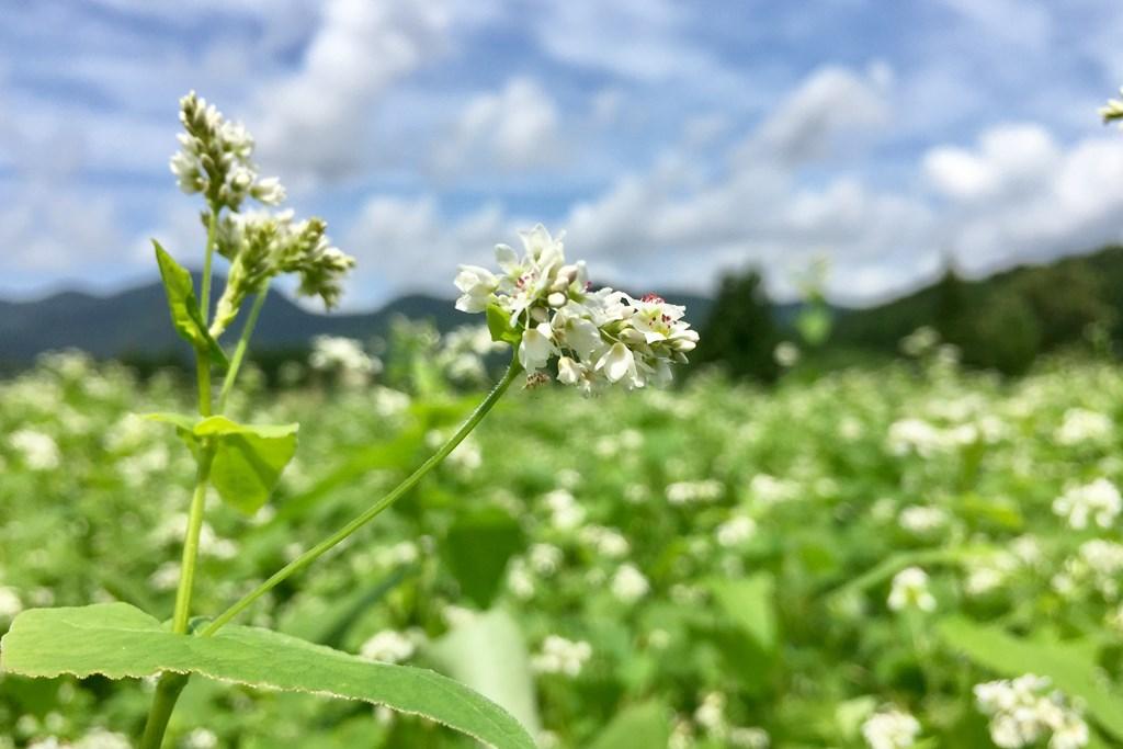 越沢そばの花-花