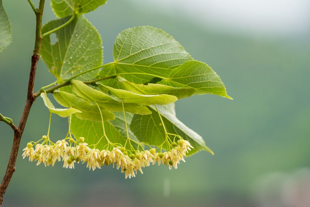 生シナの花